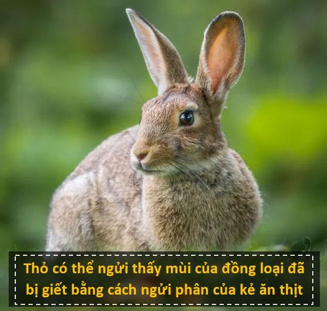 Thỏ có thể ngửi mùi đồng loại đã bị giết bằng cách ngửi phân của kẻ ăn thịt