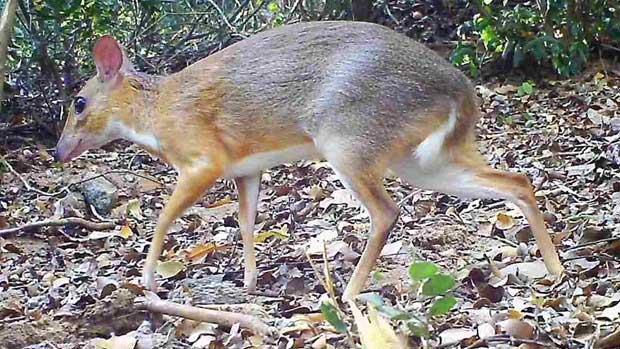 Cheo cheo là động vật móng guốc có kích cỡ nhỏ nhất trong họ, chúng nhút nhát và sống cô độc.