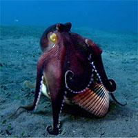 Xem bạch tuộc hóa trang tài tình thành con sò để lừa bắt cua