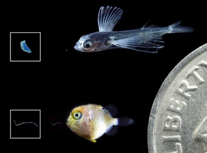 Nhựa siêu nhỏ dễ dàng bị cá con nuốt phải.
