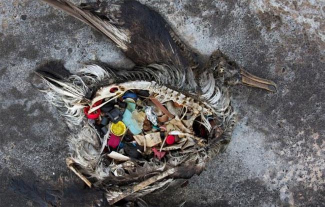Chim biển chết vì ăn nhựa.