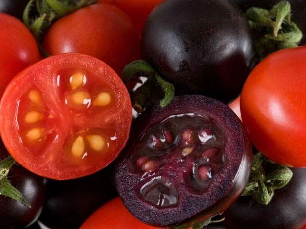 Giống cà chua tím Indigo Rose lại thể hiện rõ sự tích tụ anthocyanin tùy theo ánh sáng trên lớp vỏ.