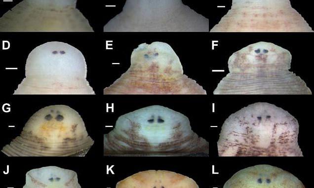 Vị trí và hình dạng mắt là đặc điểm giúp nhận dạng các loài đỉa mới.