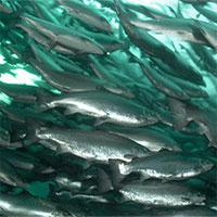 Cá nước mặn có sống được trong nước ngọt được không?