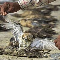 Hàng nghìn xác chim phủ kín vùng hồ rộng 200km2