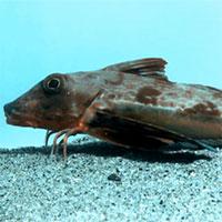 Kì lạ loài cá có chân biết bò như tôm dưới đáy biển