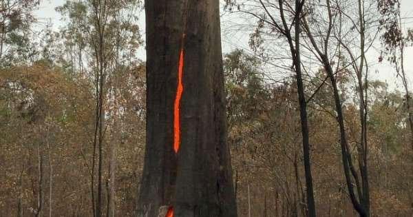 Cây gỗ lớn bốc cháy đỏ rực từ bên trong nhưng phần vỏ phía ngoài hầu như không bị ảnh hưởng.
