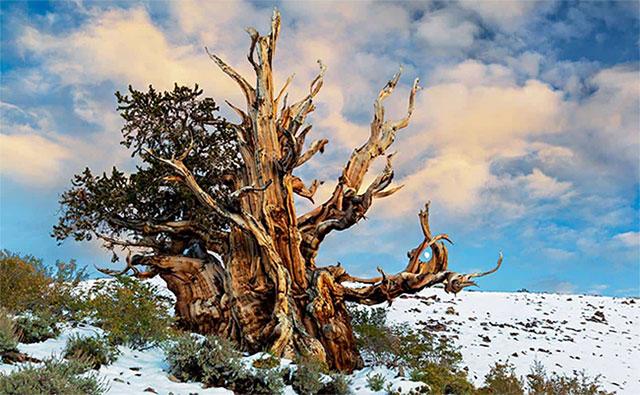Một cây thông cổ thụ trong rừng quốc gia Inyo.