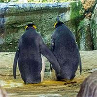 Bất ngờ với cặp đôi chim cánh cụt đồng tính... ấp trứng