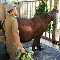 Con tê giác Sumatra cuối cùng ở Malaysia đã chết vì ung thư