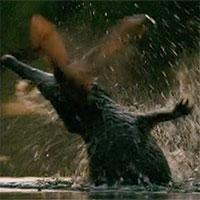 Cá sấu bất thình lình nhảy lên trên mặt nước đớp đàn dơi đang bay