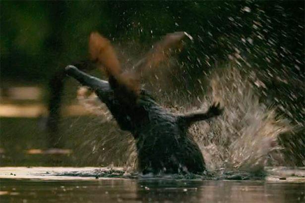 Con cá sấu nhảy lên đớp đàn rơi đang bay gần mặt sông.