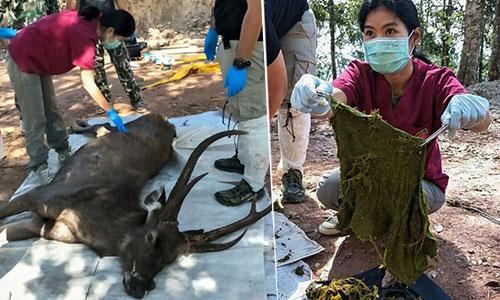 Hươu chết do ăn rác thải nhựa ở Thái Lan.