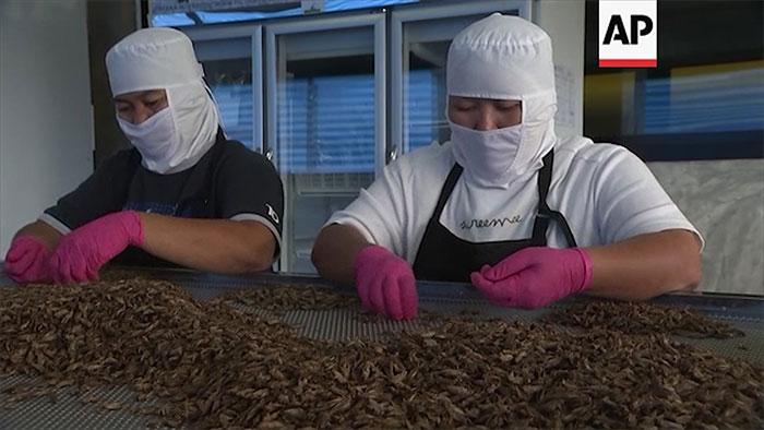 Trang trại nuôi côn trùng này mang lại cho gia đình anh Thatnat doanh thu khoảng 100.000 USD/tháng.