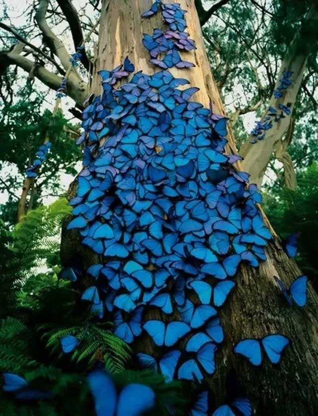 Đàn bướm Morpho xanh được chụp tại rừng mưa Amazon.