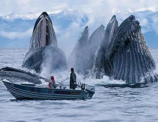Đàn cá voi nhô lên mặt nước đớp mồi ngay sát một con thuyền được chụp ở Na uy.