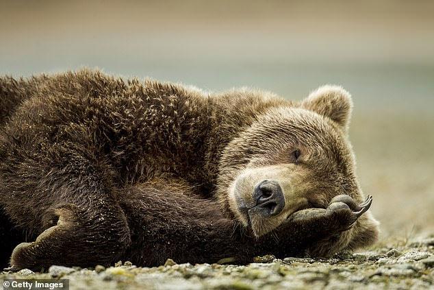 Những loài sinh vật to lớn như gấu biết cách ngủ đông.