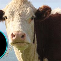 """Thịt bò bạn thấy mỗi ngày chỉ chiếm 60% con bò! 40% còn lại để làm những thứ """"siêu dị"""" này cơ!"""