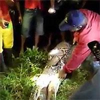 Xác người đàn ông Indonesia trong bụng trăn dài 7 mét