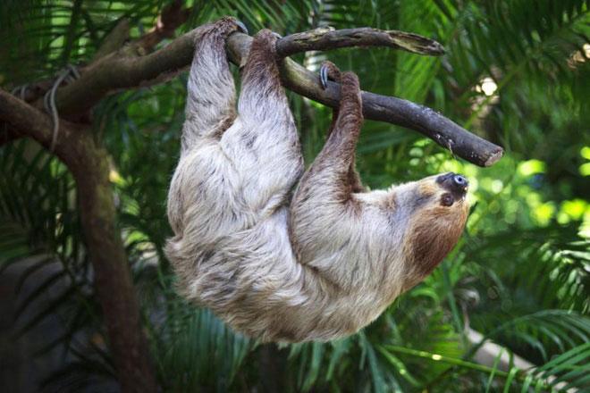 Những con lười được biết là chỉ ăn cỏ, lá, hoa, vỏ hoặc những chồi cây non.