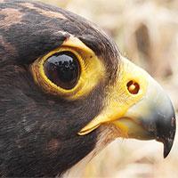 """Vì sao loài chim này lại được gọi là """"Chiến đấu cơ có lông""""?"""