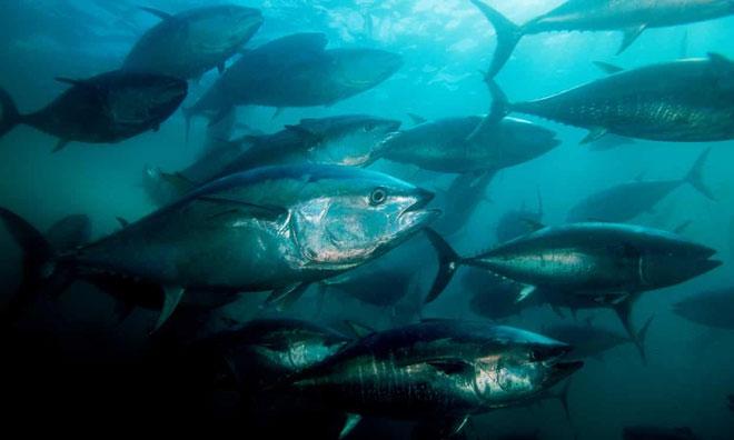 Các loài cá lớn đang bị đe dọa do đại dương cạn kiệt oxy.