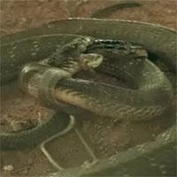 Hổ mang chúa khổng lồ dài 4,2m làm thịt rắn, bị con mồi chống trả quyết liệt
