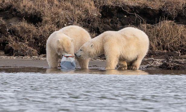Một con gấu mắc kẹt đầu trong bình sữa.