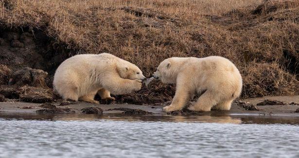 Hai con gấu bắc cực con giành nhau mẩu nhựa.