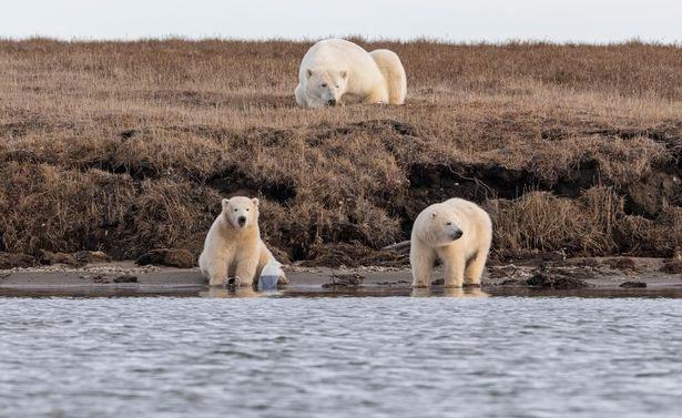 Những con gấu Bắc Cực con mà ông Sullivan đã chụp ảnh.