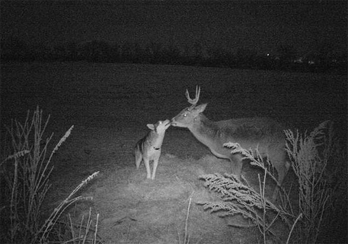 Hình ảnh Koda và chú nai đực được thợ săn vô tình ghi lại.