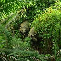 Indonesia phát hiệm thêm 4 cá thể tê giác Java non