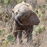 """Kenya đau đầu tìm cách đối phó """"xương rồng quỷ"""""""