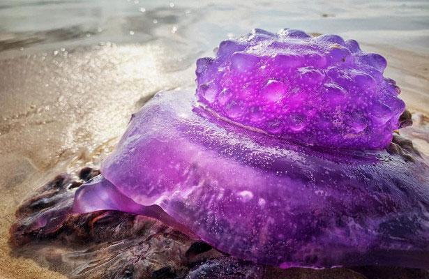 Sinh vật màu tím dạt vào bờ cát nhìn như vương miện.