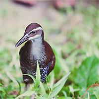 Loài chim quý đảo Guam quay lại sau 40 năm tuyệt chủng