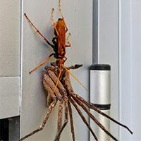 Ong bắp cày hạ gục nhện khổng lồ, lôi xềnh xệch về tổ