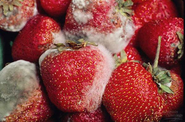 Thực phẩm hỏng, mốc sẽ tạo ra aflatoxin, một chất gây ung thư siêu mạnh.