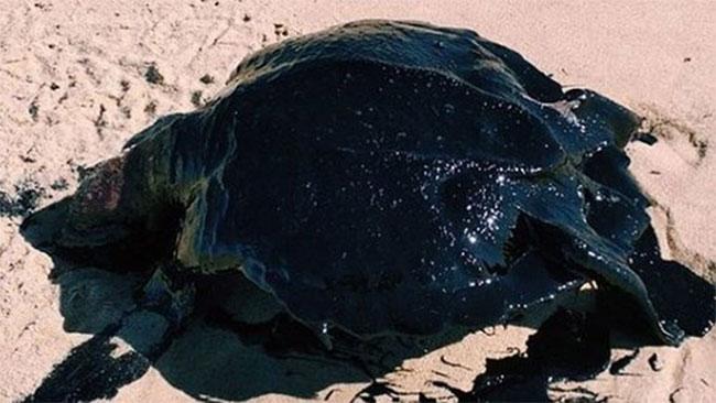 Loài bị ảnh hưởng nhiều nhất là rùa biển