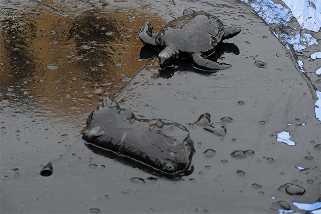 Hơn 100 con vật đã được tìm thấy với dấu vết của dầu và hơn 70% trong số chúng đã chết.