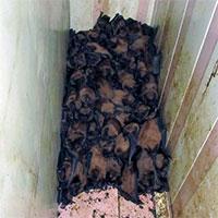 """Chủ nhà khóc thét khi phát hiện 1.700 con dơi lúc nhúc, chiếm dụng ban công nhà để… """"hoan lạc"""""""