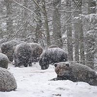 """Gấu """"trốn"""" ngủ đông do thời tiết ấm"""