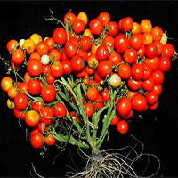 Cà chua biến đổi gene cho ra quả chùm như nho để rút ngắn thời gian thu hoạch, tăng năng suất