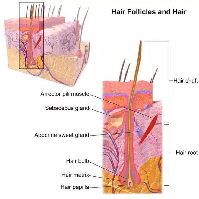Khoảng 90% -95% nang tóc của da đầu trưởng thành khỏe mạnh bình thường trong giai đoạn tăng trưởng.