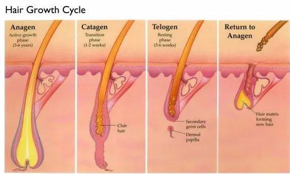 Các tế bào nang tóc hoạt động mạnh nhất trong quá trình anagen.
