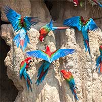 Lạ lùng loài chim sặc sỡ thích ăn đất sét