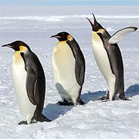 """Vì sao chim cánh cụt """"thích"""" đẻ trứng vào mùa đông?"""
