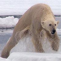 Cách săn mồi đơn độc của gấu Bắc Cực