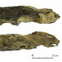 Phát hiện xác chuột đóng băng 41.300 năm còn nguyên lông