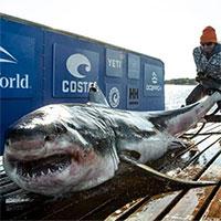 Cá mập trắng khổng lồ bơi 2370km từ bờ biển Canada sang Mỹ