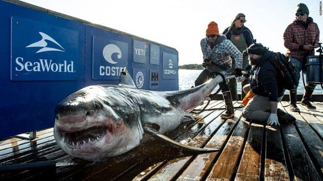 Con cá mập Ironbound bị bắt và gắn thẻ tên hồi đầu năm nay.